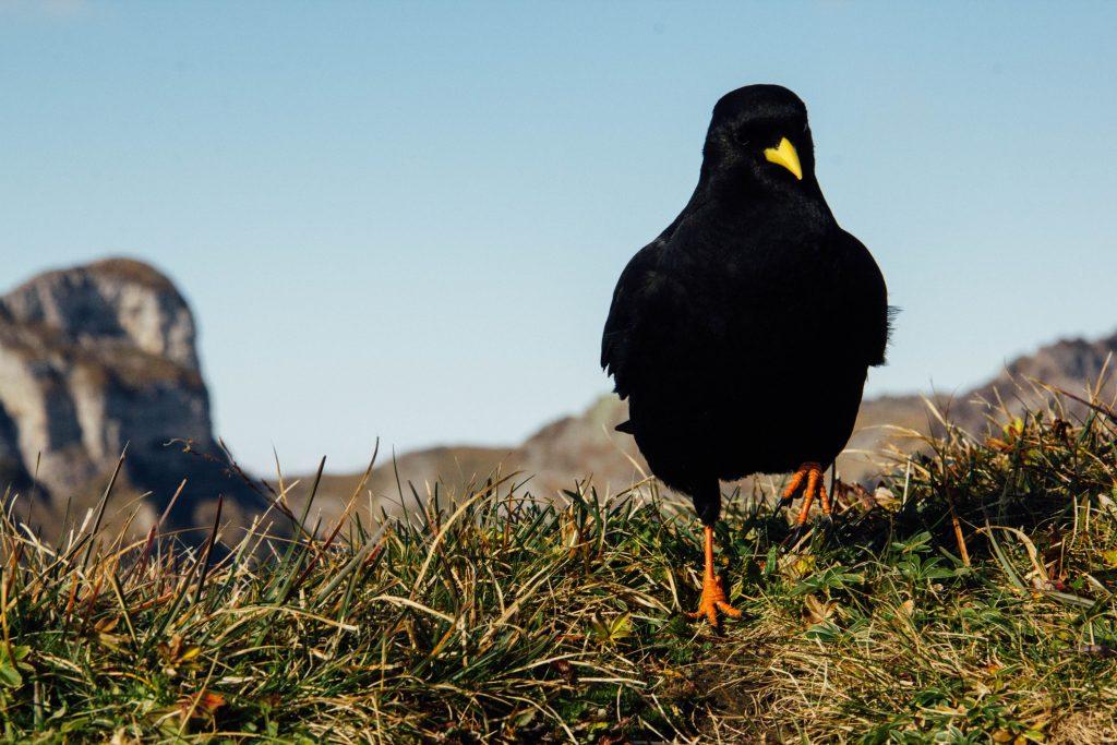 A Black Bird Presents Itself An Example Of Animal Symbolism