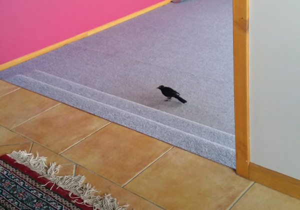 A photo I took of the blackbird in the lounge.
