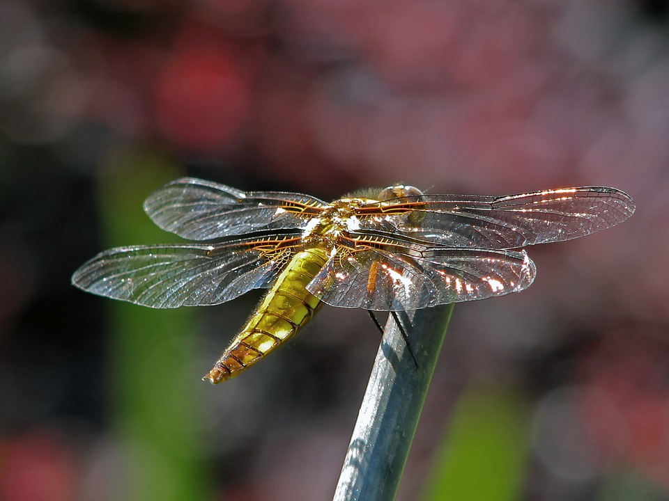 Dragonfly - The Sparking Of Souls & The Pleiadian Homeworld & — A QHHT Session by Laron